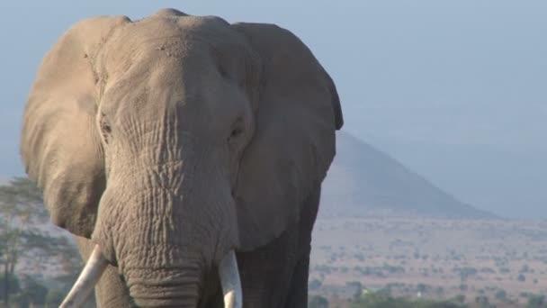 extrémní zblízka sloní býčí tvář kráčející směrem ke kameře.
