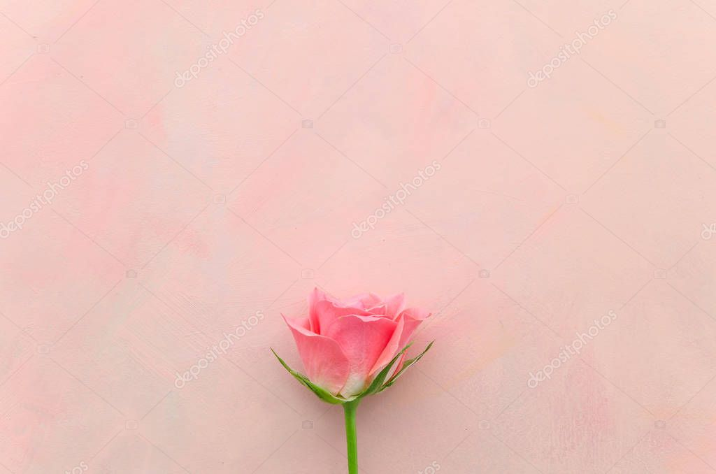 single pink rose on pink background
