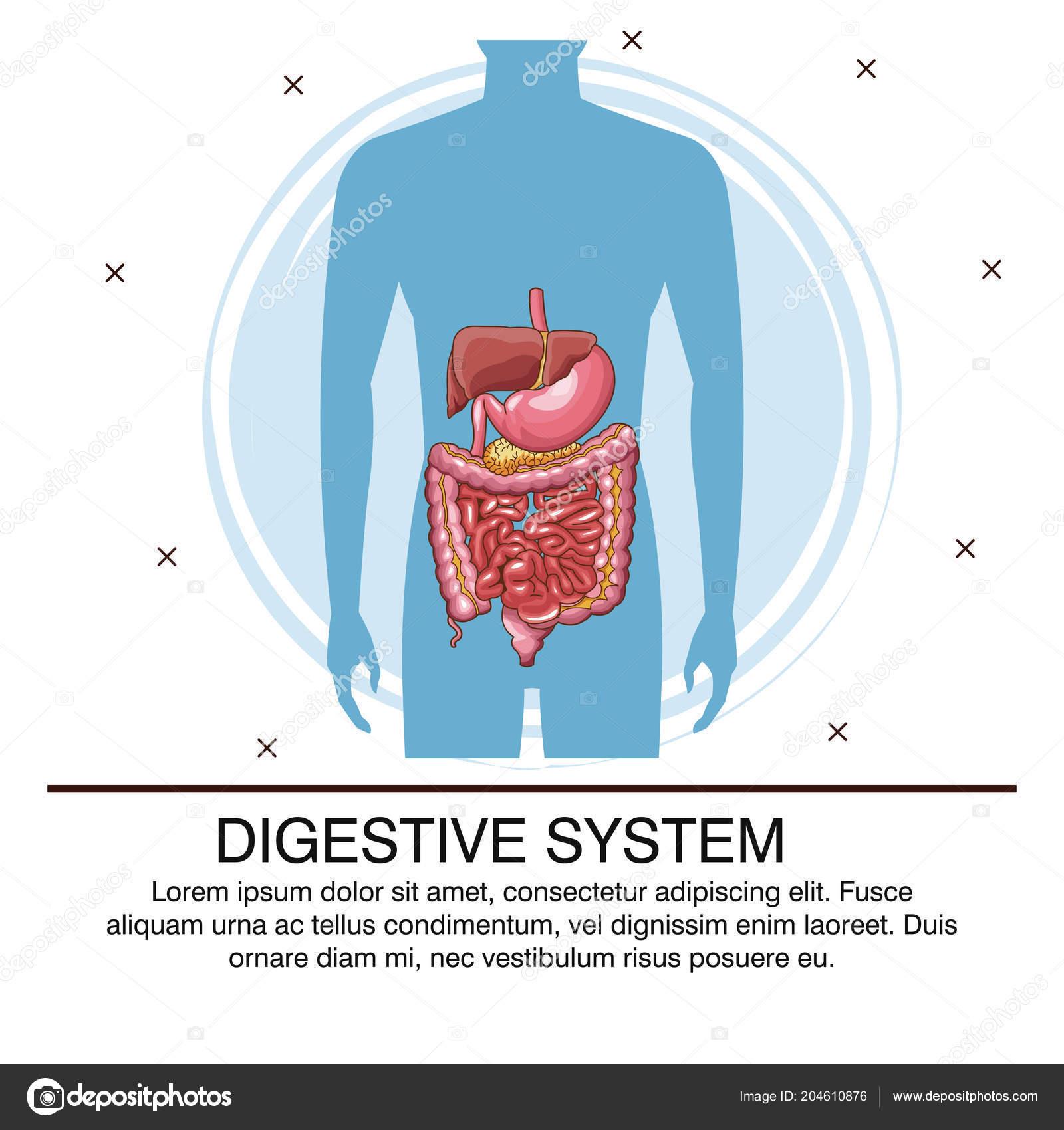 Digestive System Poster Stock Vector Jemastock 204610876