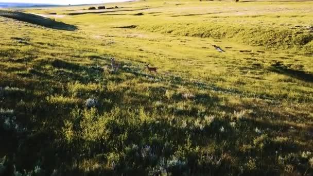 Drone camera po jeleni volně v krajině majestátní zvlněné louky běžný pole v národním parku