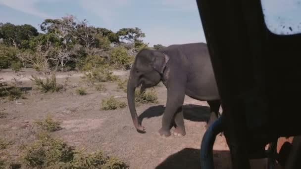Csodálatos a kilátás a safari kocsiban óriás érett vad elefánt, ásni a talajt, ételt keres nyári szavanna.