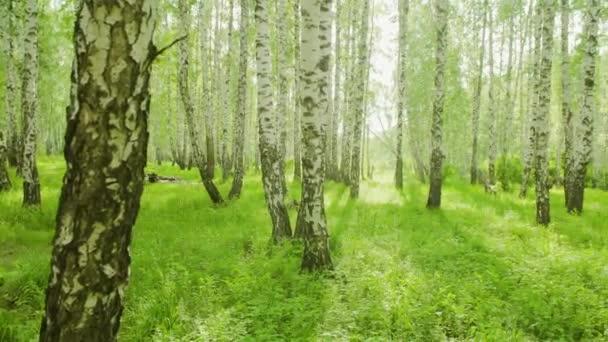 letní březový les, uvnitř zelený hustý letní forest