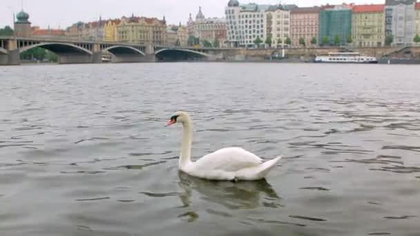 allein schwimmt ein wilder Schwan an einem trüben Frühlingstag in Prag über den Fluss