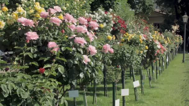 výstava kvetoucích keřů růží veřejné městské zahradě v slunečný den