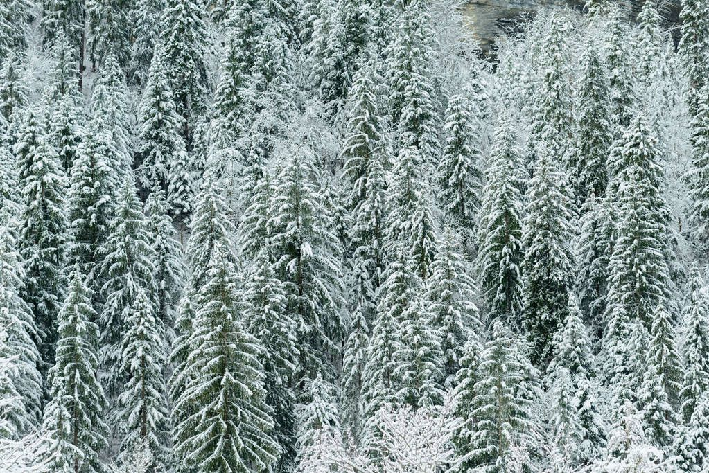 Coniferous trees with lots of snow after winter storm.