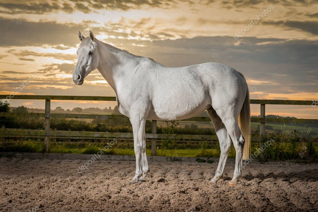 Formal portrait of beautiful grey thoroughbred retired racehorse against sunset.