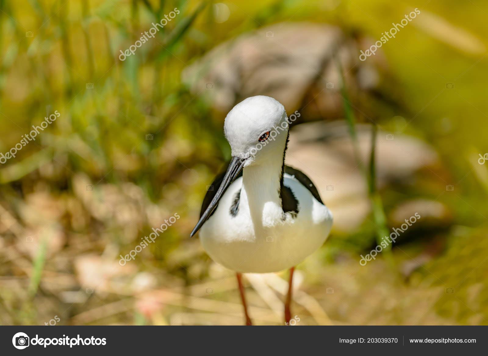 Na stůl položíme obrázky přezimujících ptáků (kos, vrabec, sýkora, straka, datel, Mám bílo-černé peří, dlouhé nohy, úzký dlouhý zobák a hnízdím na komíně.