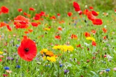 Wildflowers on summer meadow in Scotland.
