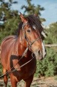 Fotografie Beautiful brown horse, close-up of muzzle, cute look, mane, background of running field, corral, trees