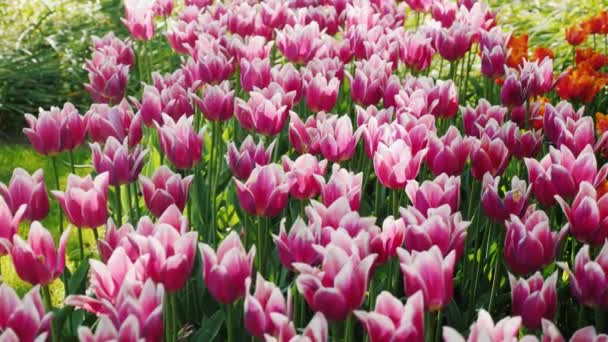 Flowerbed with beautiful violet tulips