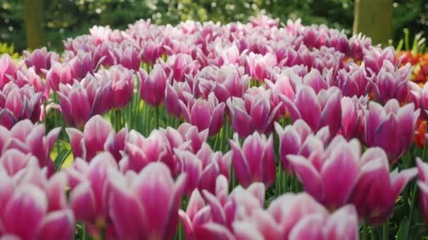 A szokatlan lila-fehér tulipán virág-ágy