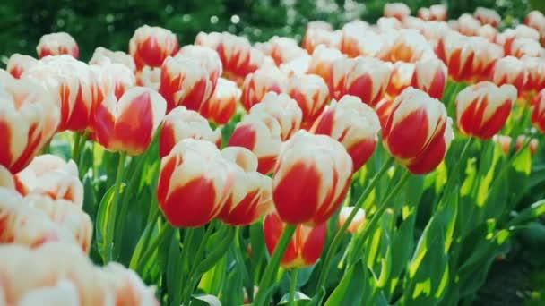 Čerstvé červené tulipány. V parku Keukenhof v Nizozemsku