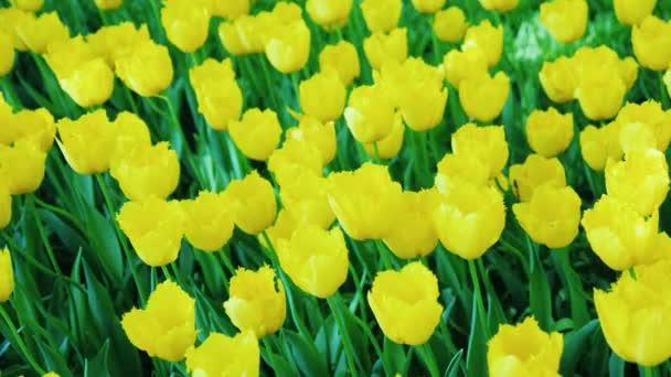 Krásný květinový záhon s žluté tulipány. Steadicam shot