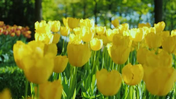 Delicate yellow tulips in a spring garden