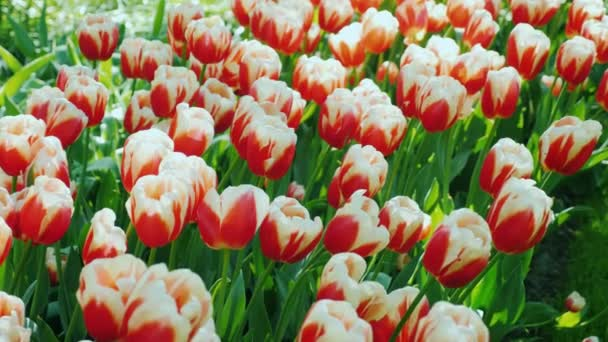 One of the symbols of the Netherlands is the tulip. Beautiful flowerbed with red and white tulips