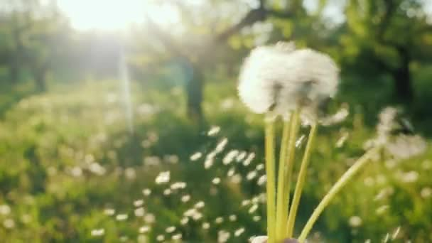 Hrát s pampelišky květy - setřást semínka... Zpomalené video Pov