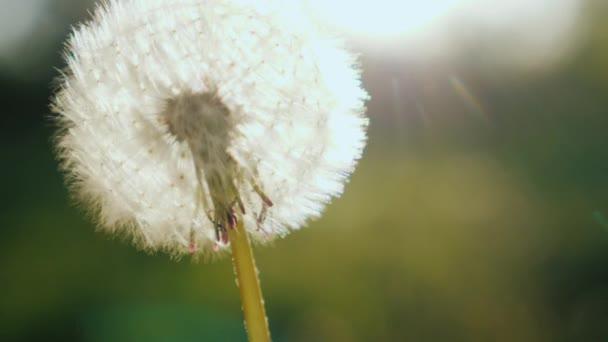 Close-up shot: foukání na Pampeliška květ. Zpomalené video