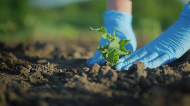 Plant a tomato seedlings in the ground. Hands gently press the ground around the young sprout