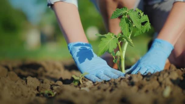 Farmář žena dává Sazenice rajčat v zemi. Pečlivě pěchování půdy kolem klíček