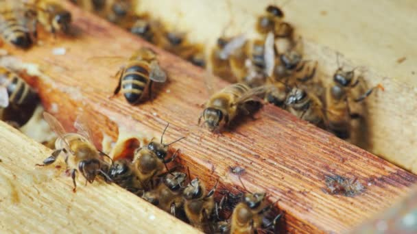 Az élet egy méh-kaptár belül. Méhek munka mézes keretek