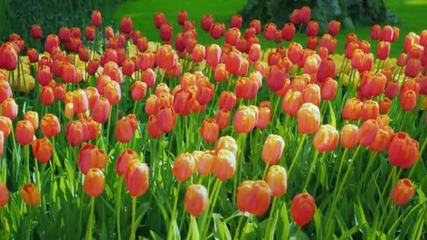 Červené a oranžové tulipány na pozadí zelený trávník. Slavný park Keukenhof v Nizozemsku