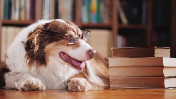 Egy diák kutya-val szemüveg. Vannak körülbelül egy halom könyvet, a könyvtárban. Vicces állatok