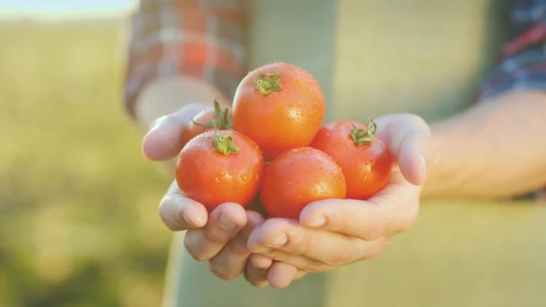 The farmers hands hold juicy red tomatoes. Fresh vegetables from farming