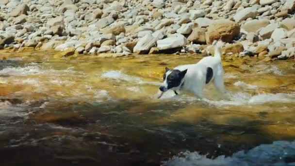 A dog tries to swim across the stormy waters of a mountain river