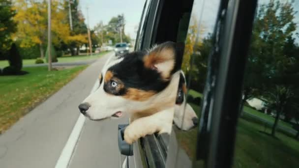 Pes s překvapením a trochu s obavami dívá z okna auta. Cestování autem s pet