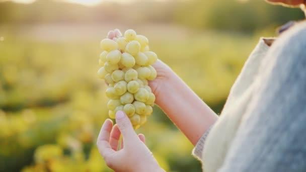 Egy csomó-ból szőlő gazdaságot, a háttérben a szőlőskert borász