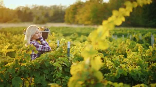 Oldalnézet: nő farmer egy kosár szőlőt megy végig a szőlő