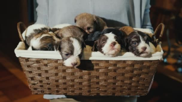 A woman holds a basket full of little puppies. Unexpected gift for Christmas