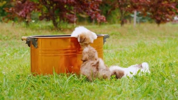 Lustige Welpen spielen um einen Kupfereimer auf dem Rasen. Freude am leichtsinnigen Spaß der Haustiere