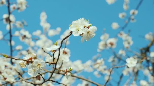 Květiny na kvetoucích meruňkových větvích