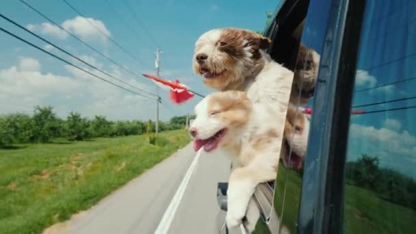 Dva roztomilí psi s vlajkou Kanady vyhlédnou z okna auta. Silniční výlet Kanada