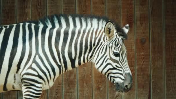Zebra na pozadí dřevěného plotu