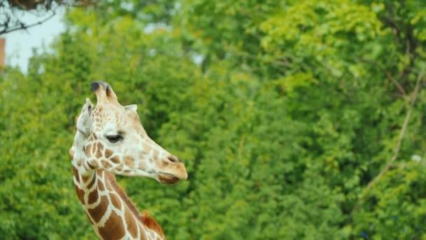 Aranyos zsiráf a háttérben a zöld fák