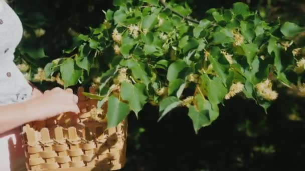 Woman picks linden flowers from a tree. Collection of medicinal plants