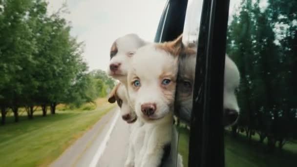 Tři srandovní štěňátka nakouknou oknem auta, cestují psi