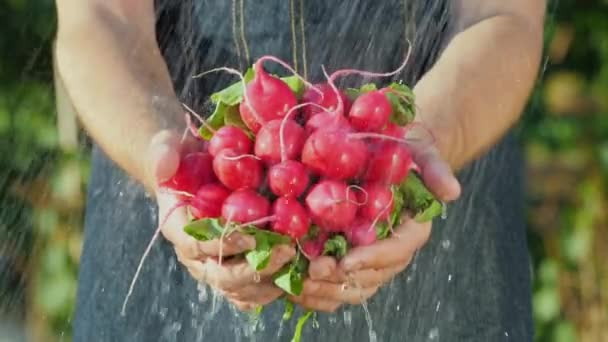A man holds a bunch of fresh radishes under running water. Fresh Organic Vegetables