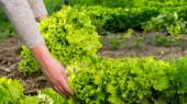 Dámské ruce trhat zelený salát listy z postelí