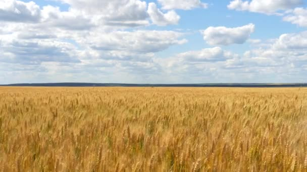Wheat field on blue sky background. Harvest of cereals. The farm. Movement of golden spikelets of wheat.