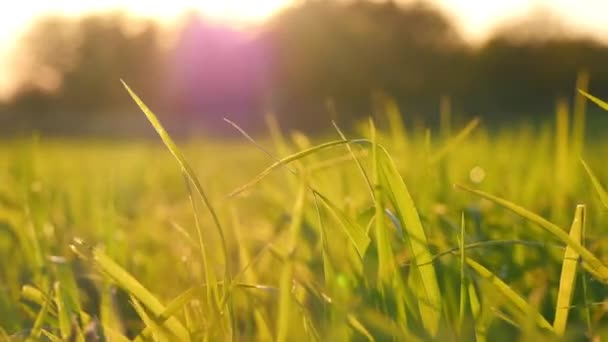Green grass lawn close-up during sunset. Wheat germ in the field. 4k.