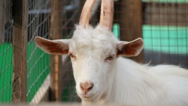 Portrét bílé kozy.