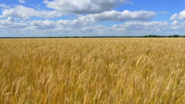 Gold wheat is ready for harvest - 2. Spikelets of wheat against the background of a cloudy sky