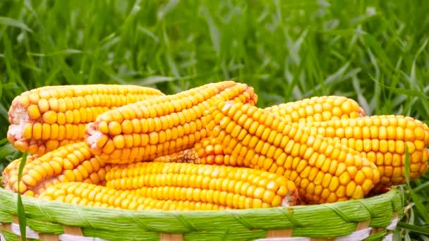 Zavřít. Zralé kukuřičné uši v košíku na pozadí zeleného pole. Produkce a prodej zemědělských plodin.