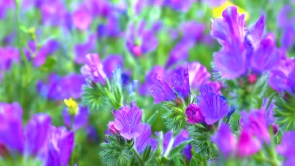 Purpurové květiny během jarního odpoledne jemně foukala.