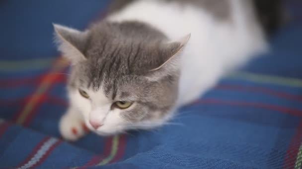 bolyhos macska feküdt egy kék takarót. egy srác és egy lány, simogatta a kezével egy macska.
