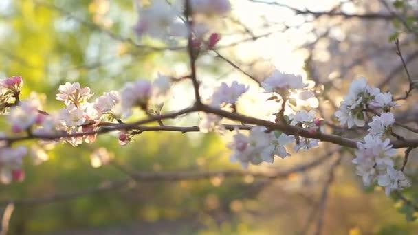Kvetoucí větev jabloně na jaře s lehkým větrem. Kvetoucí jablko s krásnými bílými květy. Větvička jabloně v květu na jaře na slunné zahradě.