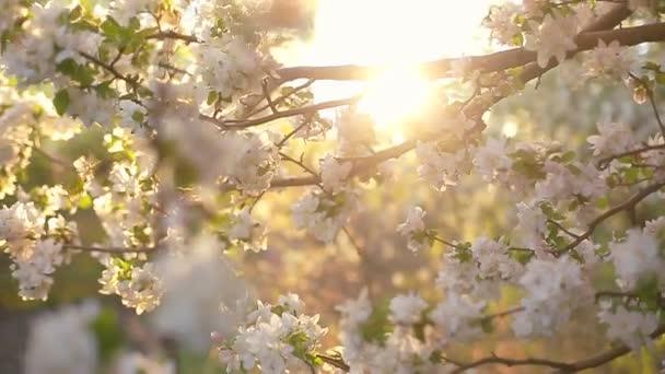 Kvetoucí větve jabloní na jaře s lehký vítr. Kvetoucí apple krásné bílé květy. Větev jabloně kvetou na jaře v sluníčko zahrada.